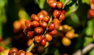 Theo chân người Tây Nguyên vào mùa thu hoạch cà phê