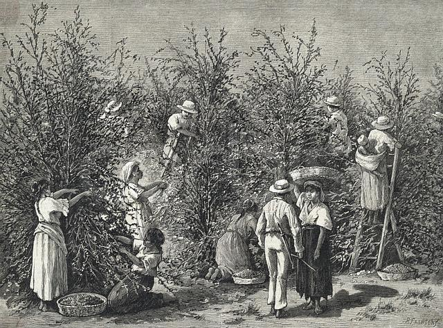 Workers Picking Ripe Berries from Trees